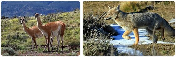 Chile Native Animals