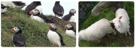 Iceland Native Animals