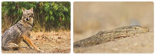 Kuwait Native Animals