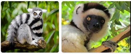 Madagascar Native Animals