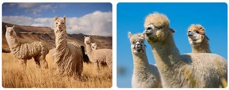 Peru Native Animals