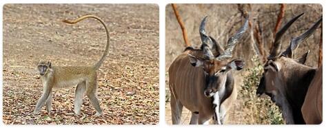 Senegal Native Animals